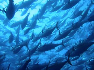 Southern Bluefin Tuna recovery research wins prestigious awards